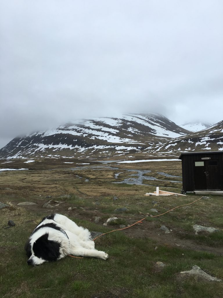Happy dog in Sälka (Kungsleden)