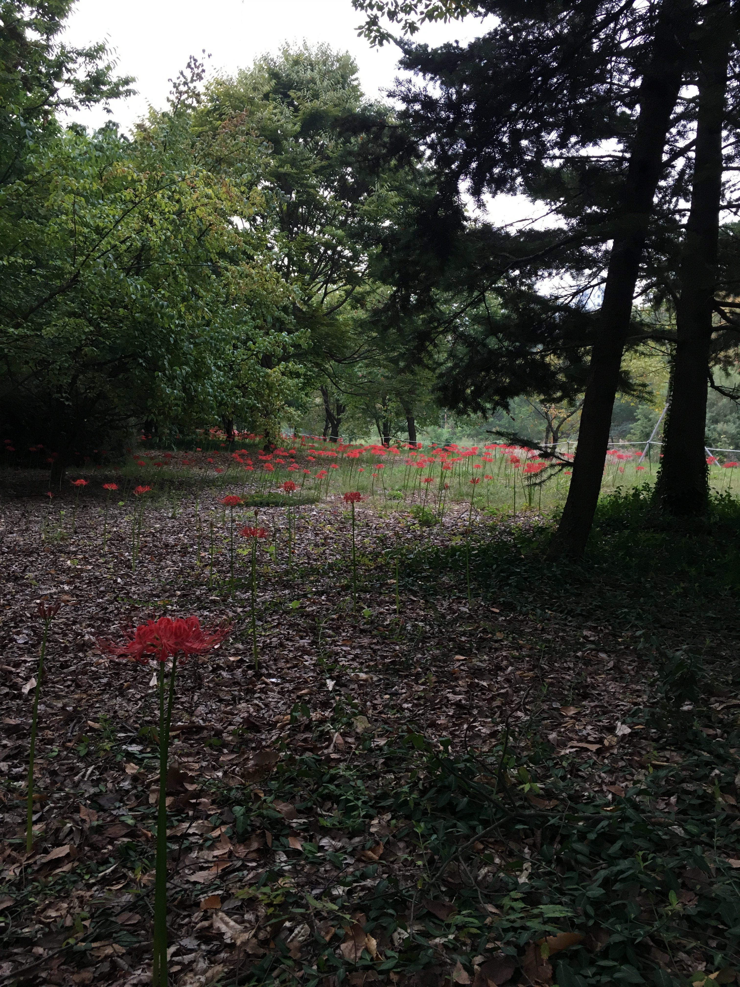 분당 중앙공원 꽃무릇