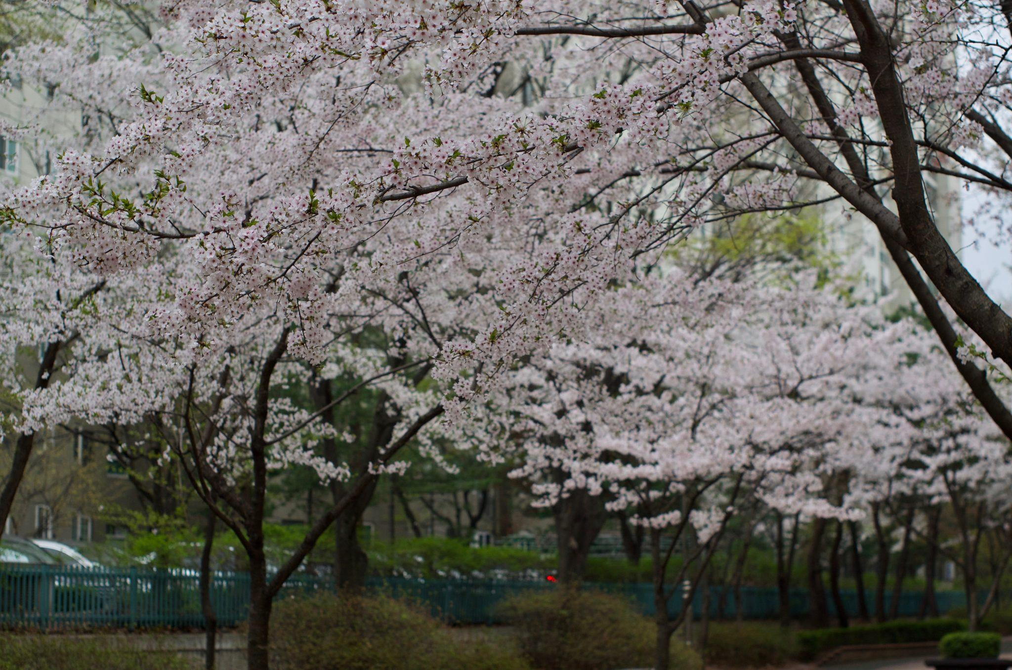 분당 중앙공원 벚꽃