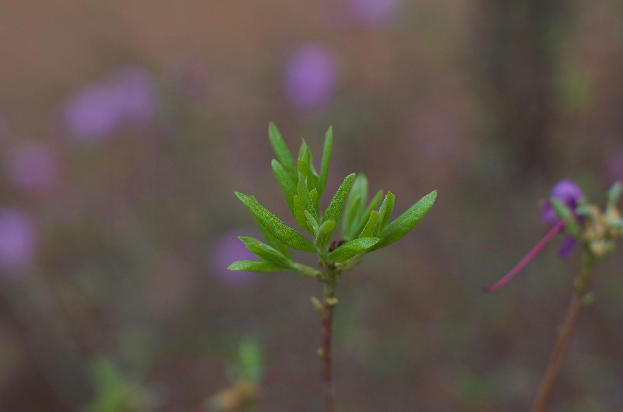 분당 중앙공원 진달래잎