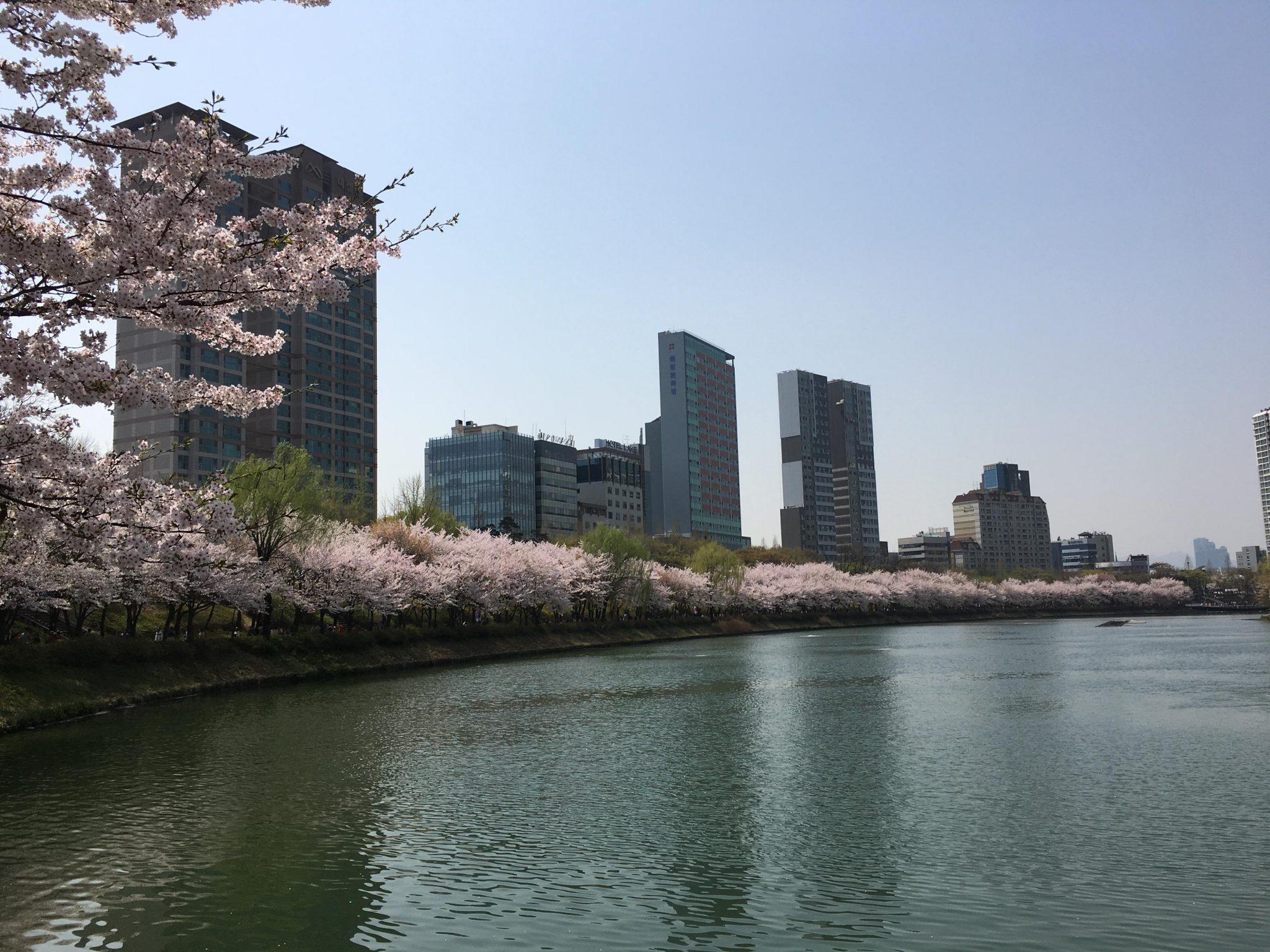 석촌호수 벚꽃