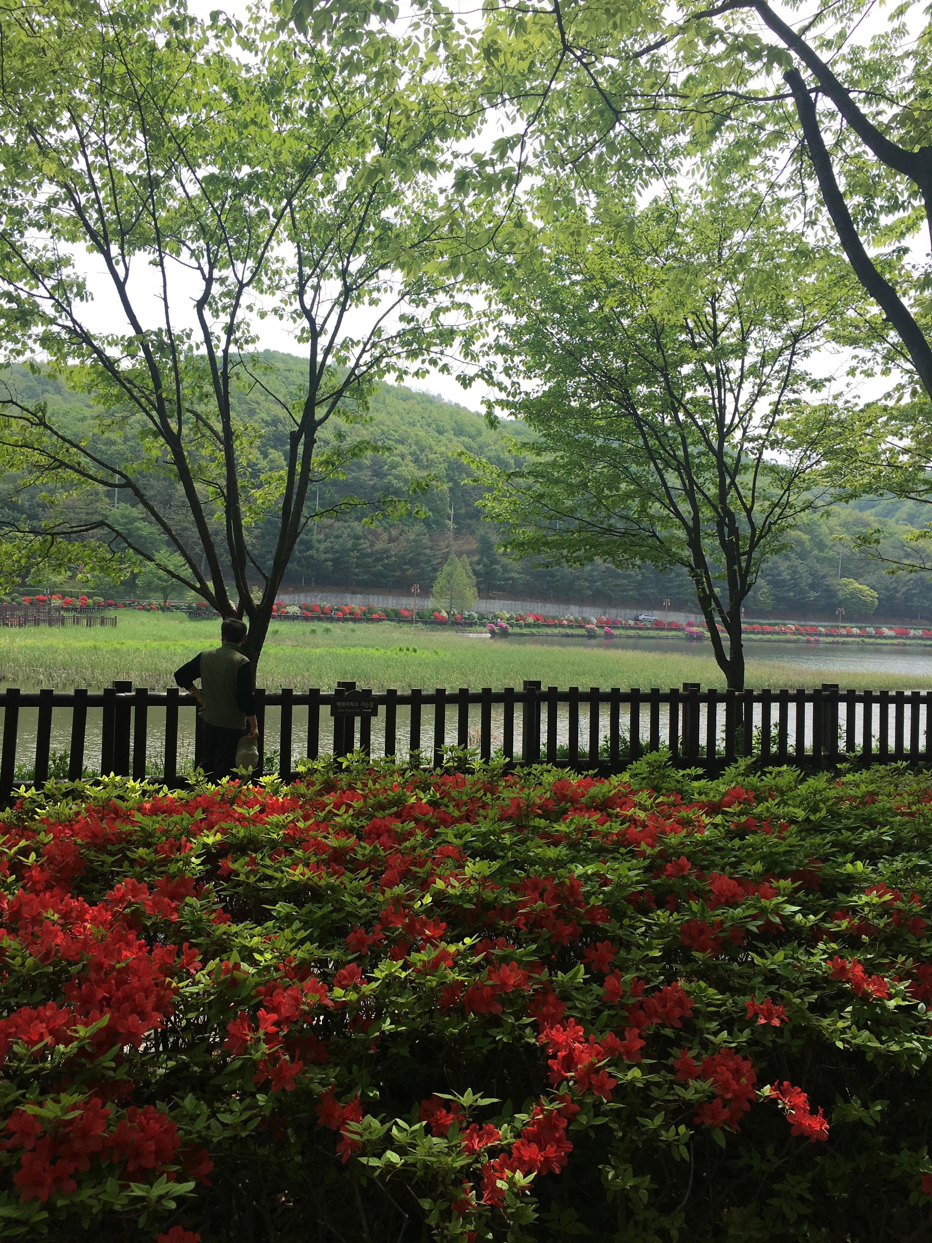 율동공원 영산홍과 산철쭉