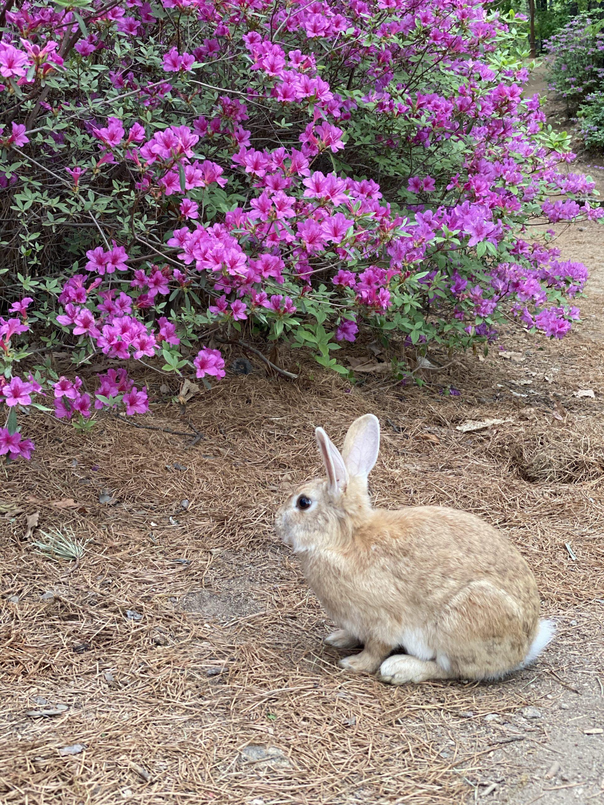 분당 중앙공원 철쭉 토끼